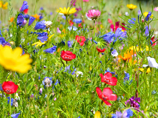 Sommerfrische - Blumenwiese