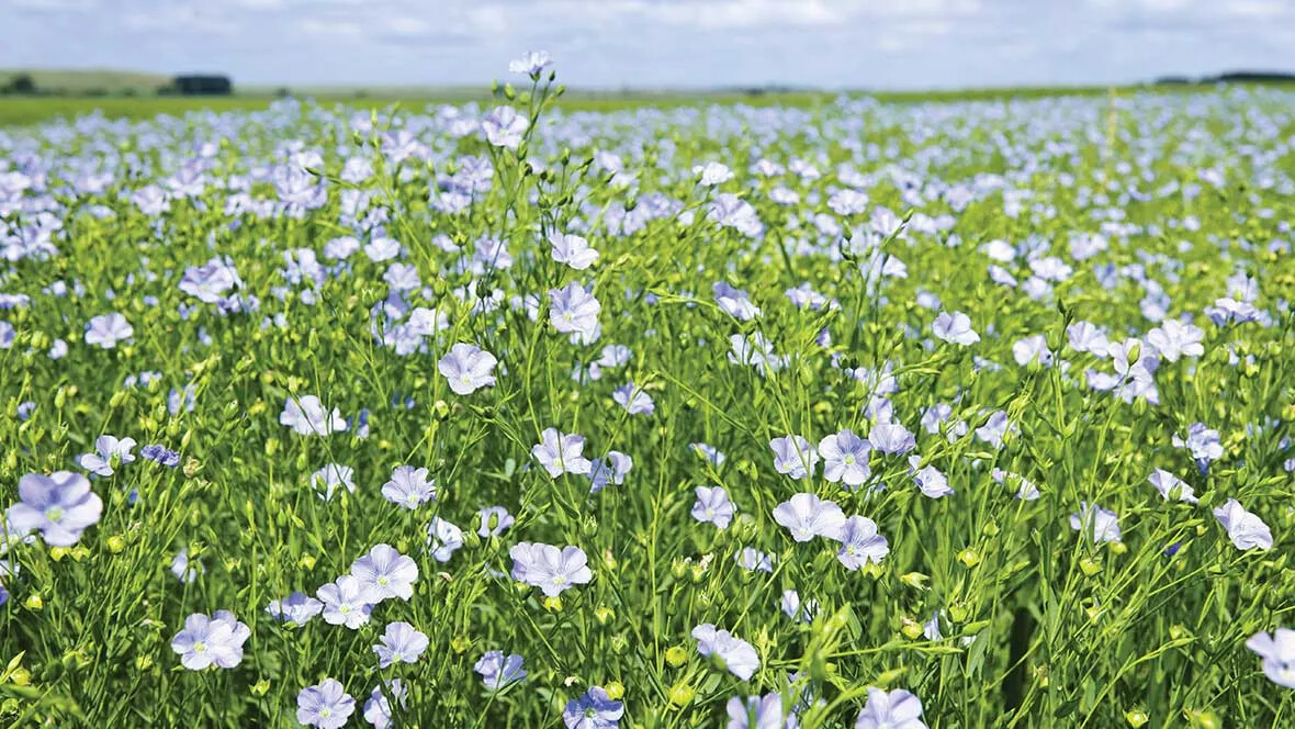 Flax flower field Marmoleum natural raw materials