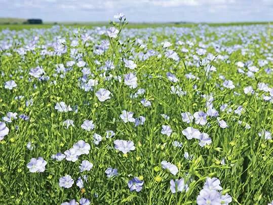 Revêtement de sol naturel linoléum, fleur de lin | Forbo Flooring Systems