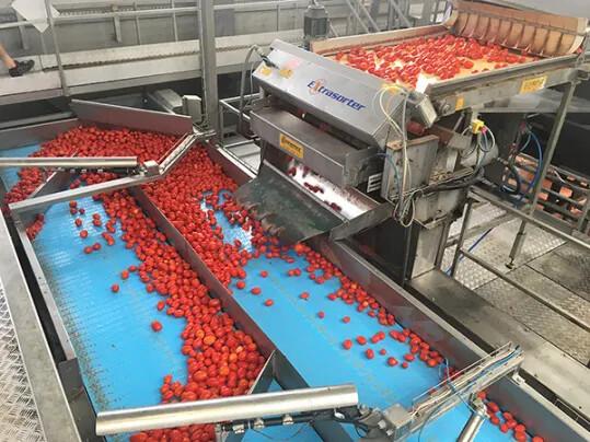 Rodolfi Tomatoes